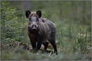 Begegnung im Forst... Wildschwein *Sus scrofa*