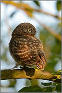 Jungvogel im Baum... Steinkauzästling *Athene noctua*