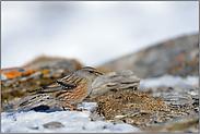 karger Lebensraum... Alpenbraunelle  *Prunella collaris*