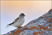 Alpenglühen... Schneesperling *Montifringilla nivalis*