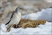 im Lebensraum... Schneesperling *Montifringilla nivalis*
