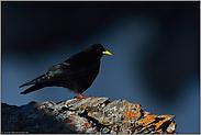 Schattenwurf... Alpendohle *Pyrrhocorax graculus*