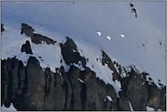 im Flug... Alpenschneehuhn *Lagopus muta*