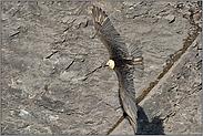 kunstvolle Flieger... Bartgeier *Gypaetus barbatus*