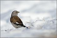 aufmerksam... Schneesperling *Montifringilla nivalis*