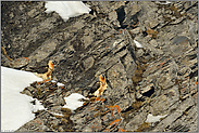 Seltenheiten unter sich... Bartgeier und Alpenkrähe *Gypaetus barbatus*
