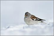 Überwinterer... Schneesperling *Montifringilla nivalis*