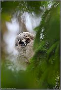 Blick durch's Guckloch... Waldohreule *Asio otus*