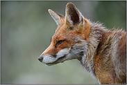 kritische Blicke... Rotfuchs *Vulpes vulpes*