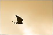 Flug ins Licht... Rohrweihe *Circus aeruginosus*