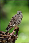 Jungfalke... Turmfalke *Falco tinnunculus*