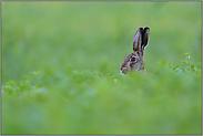 mitten im Salat... Feldhase *Lepus europaeus*