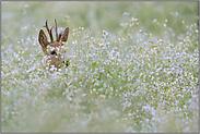 verborgen im Blütenmeer... Rehbock *Capreolus capreolus*