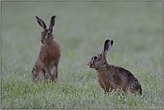 zwei im nassen Feld... Feldhasen *Lepus europaeus*