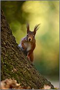 nieschgierig... Europäisches Eichhörnchen *Sciurus vulgaris*