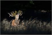 bei der Brunft im Wald... Rothirsch *Cervus elaphus*