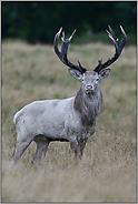 der weiße Hirsch... Rothirsch *Cervus elaphus