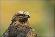 Adlerblick... Schreiadler *Aquila pomarina*