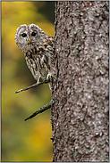 neugieriger Blick... Waldkauz *Strix aluco*