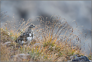 gut getarnt... Alpenschneehuhn *Lagopus muta*