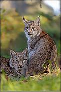 Pinselohren... Eurasischer Luchs *Lynx lynx*