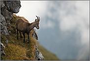 trächtig oder vollgefressen... Steingeiss *Capra ibex*