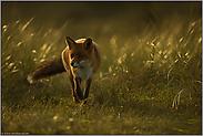 gegen das Licht... Rotfuchs *Vulpes vulpes*