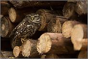 Tagesversteck im Holzstapel... Steinkauz *Athene noctua*