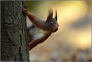 Puschelohr... Europäisches Eichhörnchen *Sciurus vulgaris*