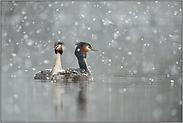 Wintereinbruch... Haubentaucher *Podiceps cristatus *