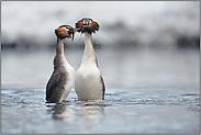 der Pinguintanz... Haubentaucher  *Podiceps cristatus*