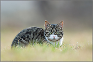 natürlich wild... Hauskatze *Felis silvestris catus*