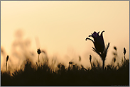 Schattenriss... Gewöhnliche Kuhschellen *Pulsatilla vulgaris*