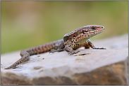 Reptil des Jahres 2006... Waldeidechse *Zootoca vivipara*