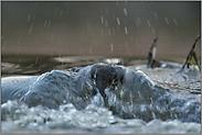 gegen die Strömung... Wasseramsel *Cinclus cinclus*