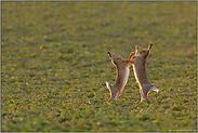 Fetzen fliegen... Feldhasen *Lepus europaeus*
