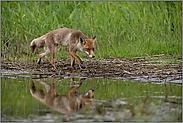 unterwegs am Wasser... Rotfuchs *Vulpes vulpes*