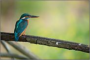 oranger Unterschnabel... Eisvogel *Alcedo atthis*