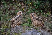 zwei Jungvögel... Uhuästlinge *Bubo bubo*