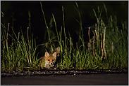 Jungfüchse am Straßenrand... Rotfuchs *Vulpes vulpes*