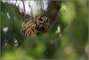 grimmiger Blick... Waldohreule *Asio otus*