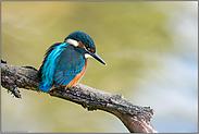 Fishermann's Friend... Eisvogel *Alcedo atthis*