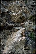 in der Felswand... Europäischer Uhu *Bubo bubo*