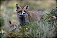 seltener Anblick... Rotfüchse *Vulpes vulpes*