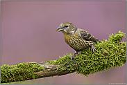 definitiv ein Jungvogel... Fichtenkreuzschnabel *Loxia curvirostra*