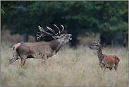 röhrender Hirsch mit Rottier... Rotwild *Cervus elaphus*
