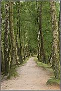 Wege... Birkenallee *Veluwe*