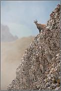 unter Beobachtung... Alpensteinbock *Capra ibex*