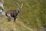 argwöhnische Blicke... Alpensteinbock *Capra ibex*