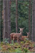 Rottier mit Kalb... Rotwild *Cervus elaphus*